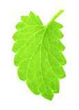 One isolated green mint leaf Royalty Free Stock Photo