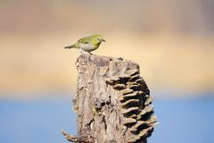 Japanese White-eye. One Japanese White-eye stands on stump with many mushrooms. Scientific name: Zosterops japonicus royalty free stock image