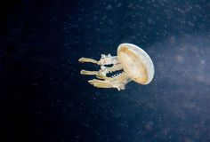 One Jelly Fish Royalty Free Stock Images