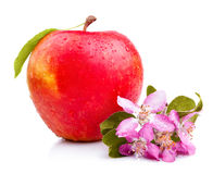 One Juicy Wet Red Apple with leaves and flowers Royalty Free Stock Photography