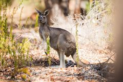 One kangaroo in the wild Stock Image