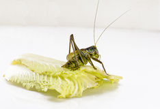 One katydid Stock Photo