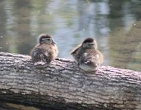 Baby ducks sitting together Stock Photo