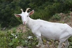 One kid of the goats, standing at the edge of the cliff Royalty Free Stock Image
