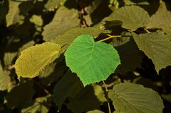 One of a kind. A single birch leaf standing out from the rest Royalty Free Stock Photo