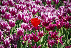 One of A Kind Tulip. Tulip Field taken in longwood gardens, near Kennett Square, PA Royalty Free Stock Photo