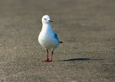 King gulls sit on a ground. South Africa stock photos