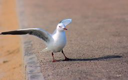 King gulls sit on a ground. South Africa royalty free stock images