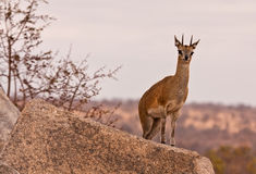 One klipspringer standing on a rock Royalty Free Stock Photography