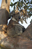 One koala sitting in a tree Royalty Free Stock Photo