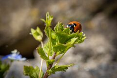 One  ladybird is on a green plant looking for food