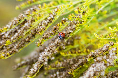 One ladybug Royalty Free Stock Images