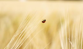 One ladybugs on wheat field Stock Images