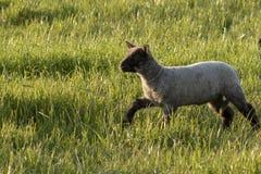 One Lamb Walking Royalty Free Stock Photos