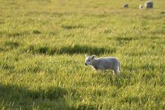 One Lamb Walking Stock Photos