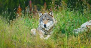 One large adult male grey wolf rests in the forest stock video