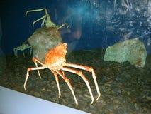 Japanese Spider Crabs. Aquarium of the Pacific, Long Beach, California, USA. One large aquarium display of several large Japanese spider crabs at the Aquarium of stock image