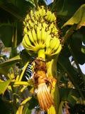 One large comb banana royalty free stock photo