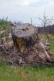 One large dry stump with roots in green grass Royalty Free Stock Image