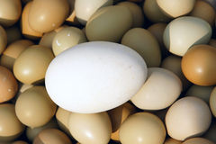 Eggs. One large goose egg in many hen eggs Stock Photography