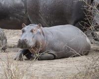 One large hippo lying on land Royalty Free Stock Photo