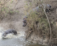 One large hippo sliding down bank toward river and a second partially submerged after crashing into the river. One large hippo sliding down a bank toward the Royalty Free Stock Photos