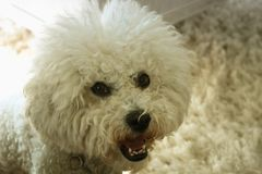 One large male bichon frise with style look.  Royalty Free Stock Images