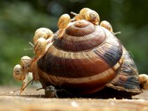 One large and many small snail. On it Stock Image
