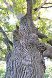 One large oak tree close up Royalty Free Stock Images