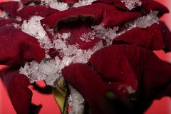 One large red rose closeup Royalty Free Stock Images