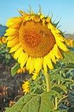 One Large Sunflower stock image