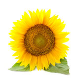 One large Sunflowers with leaves /  isolated / white background Royalty Free Stock Photos