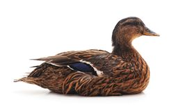 One wild duck. One large wild duck on a white background Stock Photography