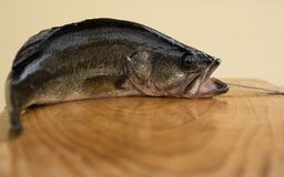 One Largemouth Bass on a cuttingboard Royalty Free Stock Photography