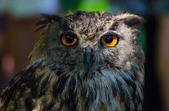 Bubo Bubo. Eurasian Royal Owl in captivity stock images