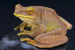 Giant Tree Frog frog / Boophis albilabris Royalty Free Stock Photos