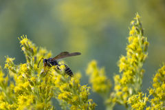 One Last Pollination. A bee pollinating a flower at the end of Summer Royalty Free Stock Images
