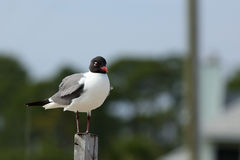 One Laughing gull standing on a post Royalty Free Stock Photo