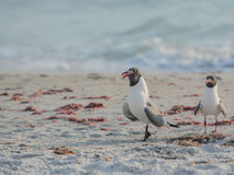 One of the Laughing Gulls Leucophaeus Atricilla swallowing a fish on Indian Rocks Beach, Gulf of Mexico, Florida Royalty Free Stock Photos