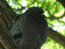 Portrait of a lazy pigeon in the shade royalty free stock photography