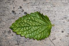 One leaf of balm Stock Photo