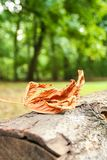 One leaf fallen. On a trunk as a symbol of incoming  autumn Royalty Free Stock Images