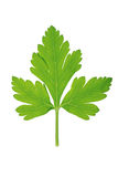 One leaf of green parsley on white Royalty Free Stock Photography