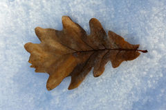 One leaf on snow. Rusty leaf fallen on the snow Stock Images