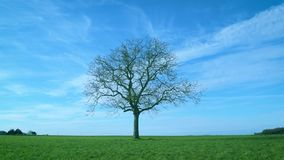 One leafless tree in green field on background of blue sky. One leafless tree in green field on background of vibrant blue sky with white cirrus clouds with stock footage