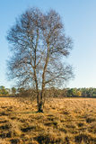 One leafless tree in a nature reserve in the fall season Royalty Free Stock Image