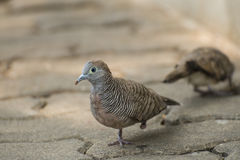 One Leg Dove Royalty Free Stock Images