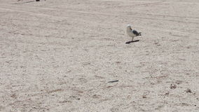One leg Gull on the beach, is on the beach and stock footage