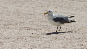 One leg Gull on the beach, is on the beach and stock video