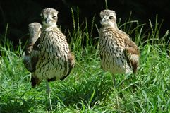 One-legged birds. 2 Young Oedicneme bride or Bush Thick-Knee or Bush Stone-curlew Stock Photos